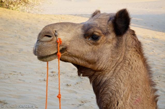 Pensive Camel