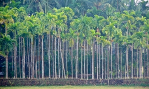 Coconut tree curtain